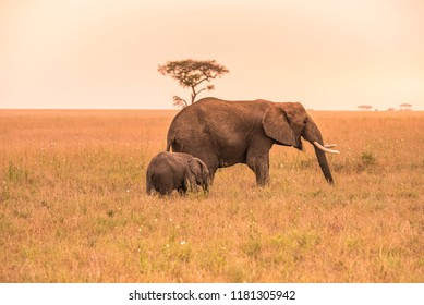 Parent African Elephant with his young baby Elephant in the savannah of Serengeti at sunset. Acacia trees on the plains in Serengeti National Park, Tanzania.  Safari trip Africa nature.
