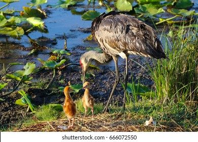 Parent and Baby Cranes