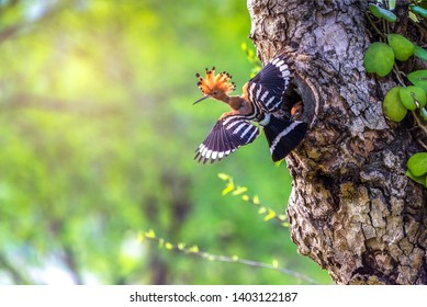Parent bird feeding a chick in a nest in a tree hole. Eurasian Hoopoe or Common hoopoe (Upupa epops) bird.