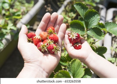 Parent and child hand harvesting strawberries