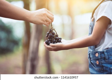 Parent give bunch of red grapes harvested by themselve together to her child in the vineyard