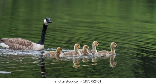 Parent and goslings out for a morning swim.