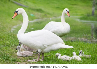 parents swans with youth family