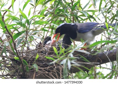 Parents were ready to remove fecal sac of fledgings.They usually produce it after feeding.Nestling bird produces fecal sac for easier removal. It helps to minimize scents and keep the nest clean.
