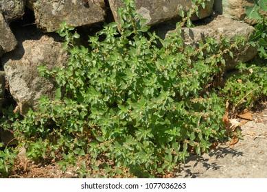 Parietaria judaica, Allergens Plants