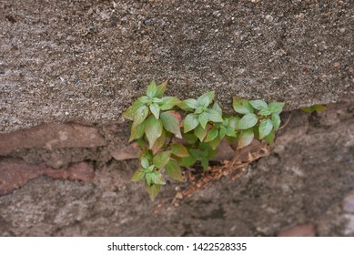 Parietaria judaica plant on a wall