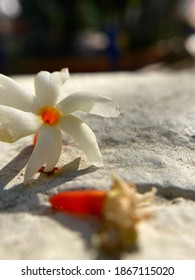 Parijat Night Flowering Jasmine is a delicate flower with good fragrance and numerous medicinal benefits. It is said that this flower has emerged during Samudra Manthan is also known as Harshringar