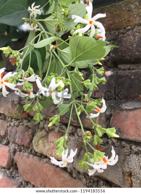 Parijat White Flower Kathmandu 12018 Stock Photo (Edit Now) 1194183556