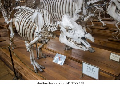 Paris France Jun 11th 2018: the Sumatran rhinoceros skeleton in Gallery of Paleontology and Comparative Anatomy of National Museum of Natural History.
