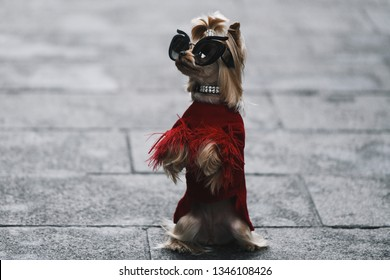 Paris, France - March 01, 2019: Street style outfit -  Evangelie SmyrniotakiA dog wearing a fancy outfit after a fashion show during Paris Fashion Week - PFWFW19