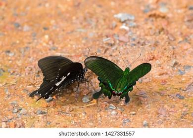 Paris Peacock, Black and white Helon, swallowtail butterfly in green feeding on wet muddy ground at Khao Yai, Nakhon Ratchasima, Korat, Thailand (Papilio paris)