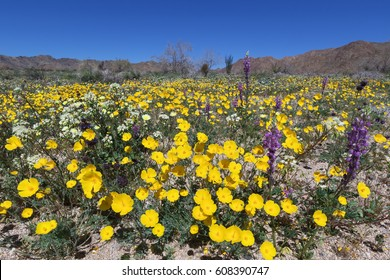 Parish's poppy, lupine, and other wildflower blooming in Joshua Tree National Park, CA