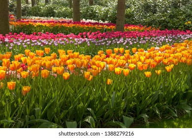 Park with beautifup Dutch tulip fields on sunny day