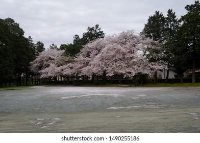 Park with blossom sakura,  with many petals on the floor. Toyokawa, Aichi, Japan