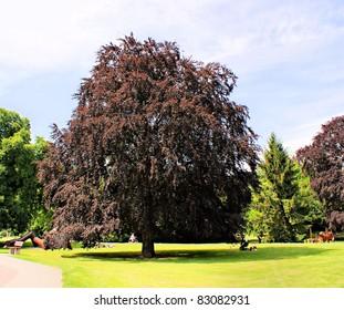 In a park is an old copper beech A copper beech