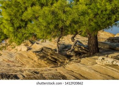 park outdoor bright colorful green tropic scenery landscape of cedar tree in rocky Mediterranean Greece beach waterfront