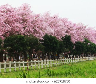 Park of pink trumpet tree this is flower in summer at Thailand.