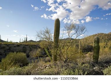 Park Saguaro, near Tucson in Arizona -  USA