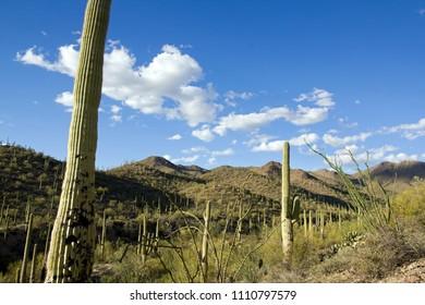Park Saguaro, near Tucson in Arizona - the USA