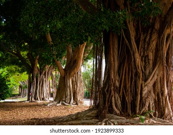Park with several specimens of Ficus (Ficus Benjamina), large trees with wide trunks and full of hanging roots, provide plenty of shade in summer.