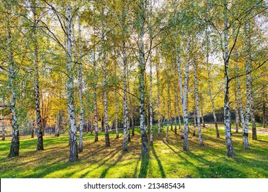 Park with silver birch trees with green grass