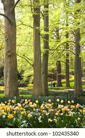 Park with tulips, daffodils and Frittilaria spring flowers under old beechtrees