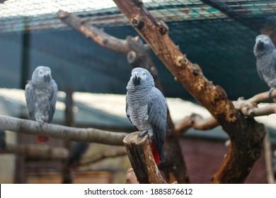 Parrot . African Grey Parrot