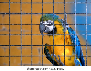 Parrot: caged blue and yellow macaw (ara ararauna)