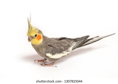 Parrot Cockatiel on a white background.