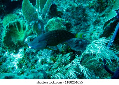 Parrot fish cayman wild reef