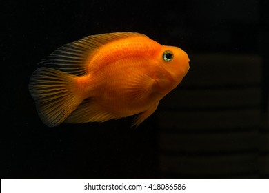 Parrot fish cichlid on a black background