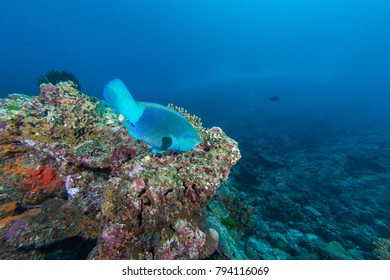 Parrot fish eating coral in the coral reef