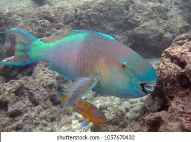 Parrot fish on the coral reefs in Hawaii