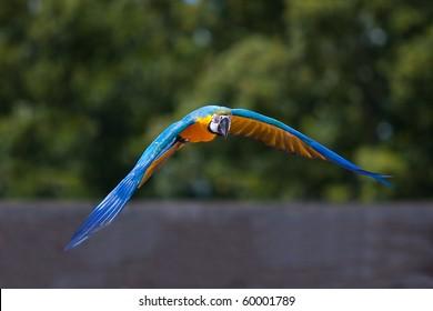 Parrot flying