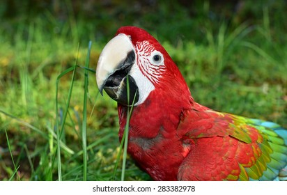 Parrot. Green Wing Macaw in Nature