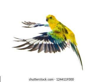 parrot (haematonotus psephotus) in flight isolated on white background