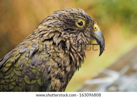 Parrot Kea Arthurs Pass National Park Stock Photo (Edit Now