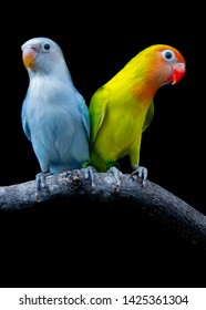 parrot lovebird family  color dilute green and dilute blue