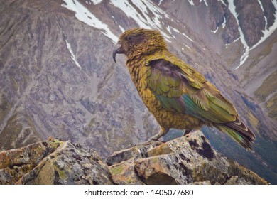 Parrot Nestor Kea in famous national park Arthurs Pass in New Zealand