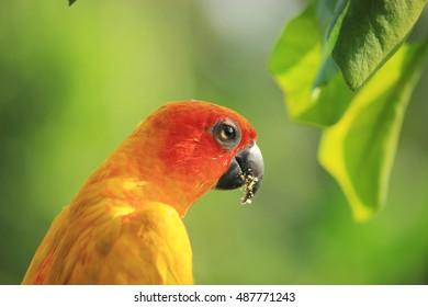 parrot orange