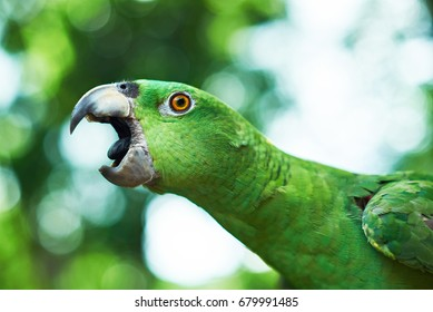 Parrot trying to bite. Open beak of green parrot close up