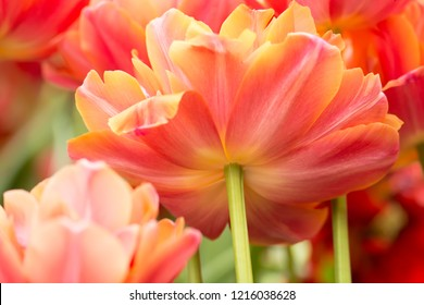 Parrot tulip flower close-up using shallow focus in soft lighting. Soft and gentle spring flower natural background. Flowerbed with red and yellow mixed color tulips. Tulips blur wallpaper.