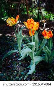 parrot tulips blooming in the garden