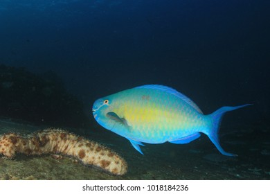 Parrotfish fish in ocean