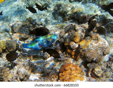 Parrot-fish on the coral reef in Red Sea, Egypt