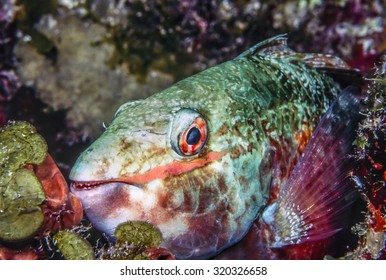 Parrotfishes family Scaridae, but now often considered a subfamily Scarinae, wrasses