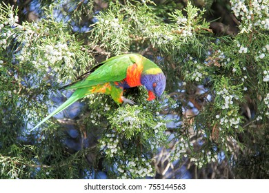 Parrots in Australia