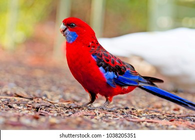 parrots Australia. The State Of Victoria, where bird feeders, wild parrots of Australia.