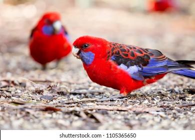 parrots Australia. The State Of Victoria, where bird feeders, wild parrots that Australia