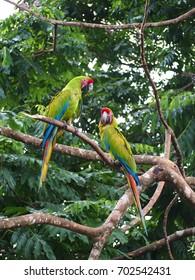 Parrots in Costa Rica